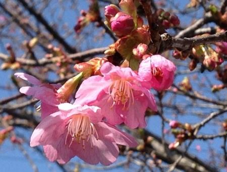 4月1日河津桜