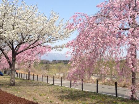 鳥野目しだれ桜