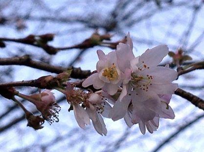 四季桜1.jpg