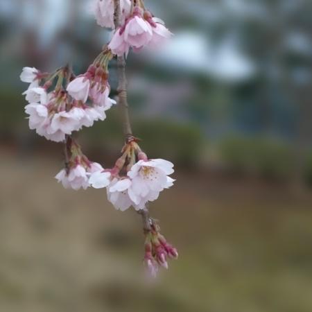桜 ブログ120160407_064447.jpg