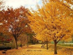 河畔公園の紅葉 1.JPG